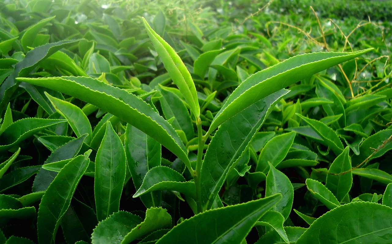 kerala india green leaf tea